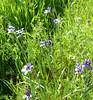 blue eyed grass_group_P1090098