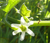 white flower on vine with ant_P1090118