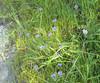blue eyed grass_many plants_P1090205