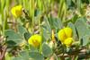 lotus_wrangelianus_P1090370
