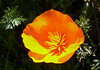 california poppy_orange and yellow_shade behind_P1090196