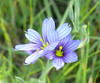 blue eyed grass (2)_interleaved_P1090209