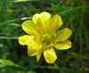 buttercup_P1090065