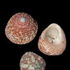 Jujube top shell_ Florida west coast_labelled_IMG_7558