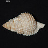 Atlantic distorsio_ deep water trawl_ Gulf of Mexico_1978_IMG_6891