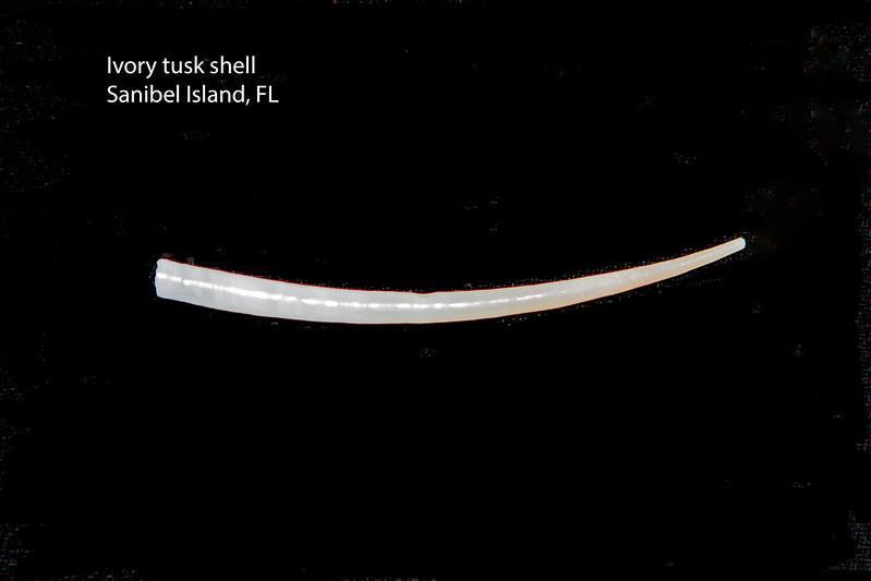 Ivory tusk shell_ Sanibel Island FL_labelled_IMG_7617