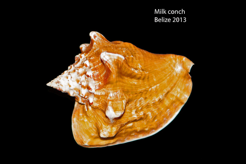 Milk conch_ Belize_ 2013_labelled_IMG_6866