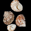 Chestnut turban_ Florida west coast_labelled_IMG_7550
