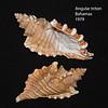 Angular triton_ Bahamas_ 1978_IMG_7750