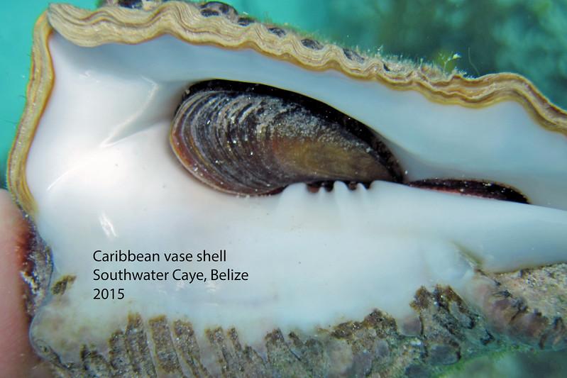 Caribbean vase_shell_SouthWaterCaye_March 2012
