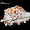 Laciniate conch_ GBR_IMG_8182