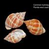 Common nutmeg_ Florida west coast_labelled_IMG_7536