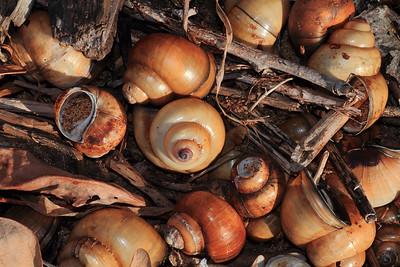 Shells- Lake Mille Lacs