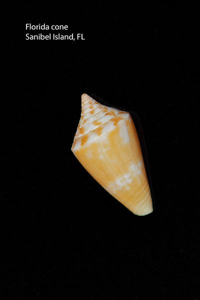 Florida cone_ Sanibel Island_IMG_6446_labelled