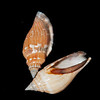 Little bear conch_wedding shells from Indo-Pacific_Lignum Vitae Key_IMG_6953