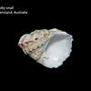 Modulus tectum_ knobby snail_Queensland Austalia_IMG_7691