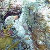 common octopus2_ SWC_ BZE_2015_Jan