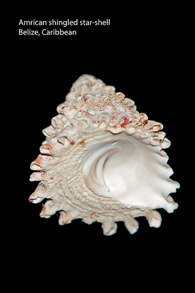 American shingled star-shell_ Caribbean_IMG_7647