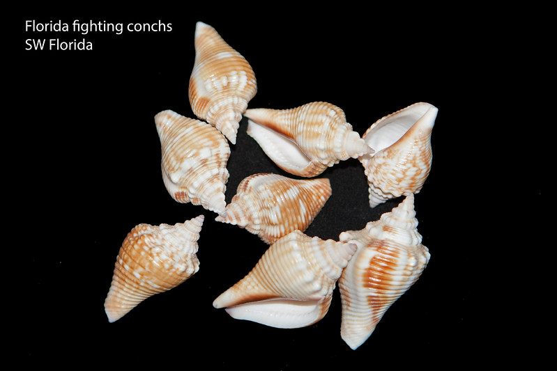 Florida fighting conchs_juveniles_SW Florida_labelled_IMG_7678