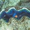 Giant clam_ GBR_ Australia_05330