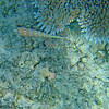 White-spotted auger in situ_ GBR_2003_-05331