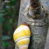 Cuban tree snail_FL Keys_2009