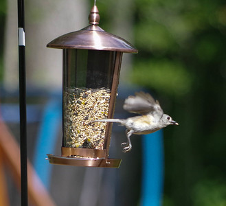 Titmouse on a mission