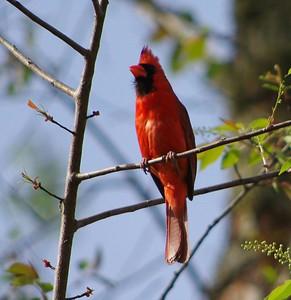 Cardinal March 2016