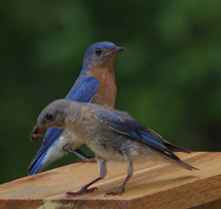 Mom and Pa Bluebird 2nd brood 2016