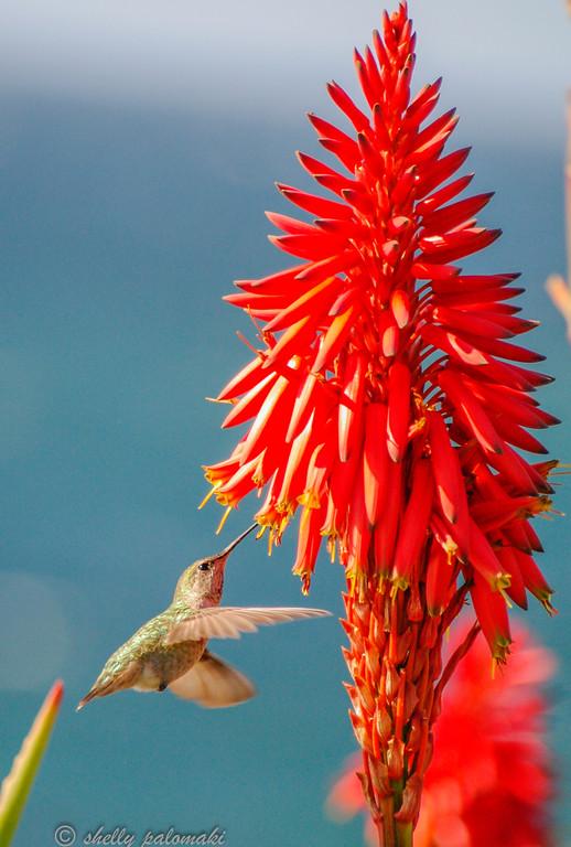Shelly's Hummingbirds