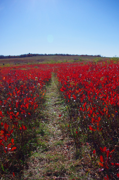 The Big Meadow was filled with fiery blueberry.<br /> 10/15/2011