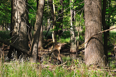 Two whitetail deer.  One is hiding.