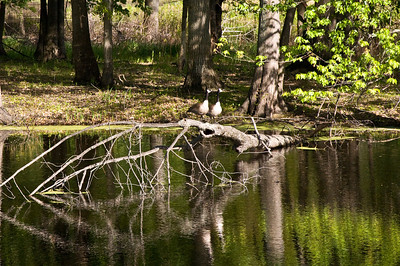 Check out the geese reflections in the pond.