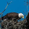 Feeding eaglet 8 March 2013