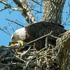 Feeding eaglet 8 Mar 2013