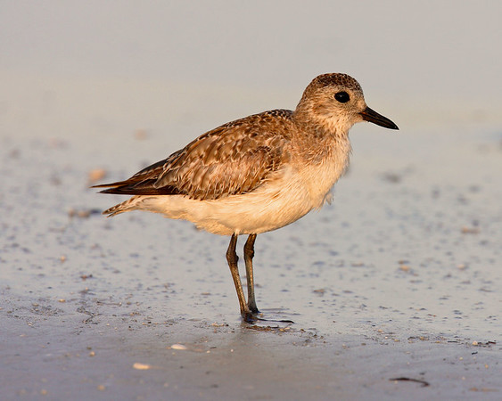 This is a photograph of a Black-bellied Plover (Fort DeSota 4/06).