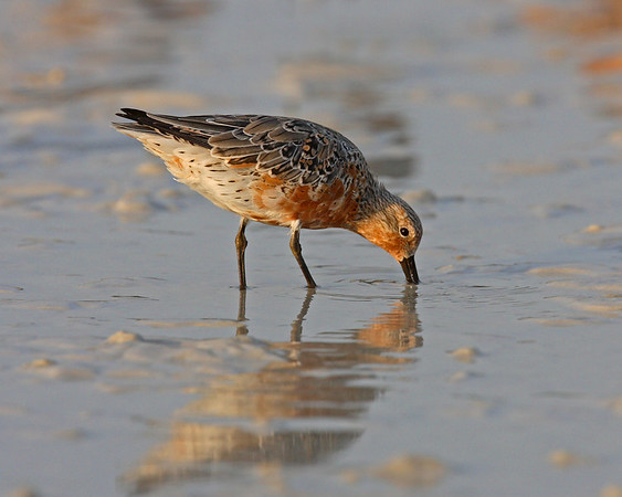 This is a photograph of a Red Knot (Fort DeSota 4/06).