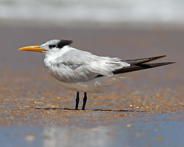 This is a photograph of a Royal Tern  (Fort DeSota 4/06).