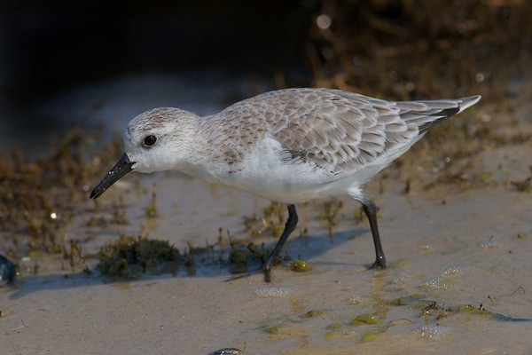 This is a photograph of a Sanderling taken in Grandview Nature Preserve in Hampton, Viriginia (5/05).