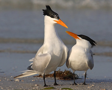 This is a photograph of a pair of Royal Terns.  The male made several circles around the female in a courting ritual.  He stopped for a second and she gazed up and I was able to capture this image (Fort DeSota 4/06).