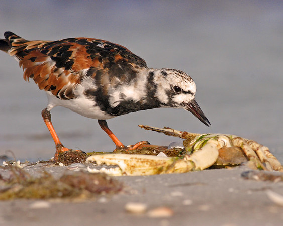 This is a photograph of a Ruddy Turnstone (Fort DeSota 4/06).