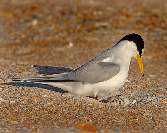 This a photograph of a Least Tern sitting on an egg (Fort Mantanzas 4/06).
