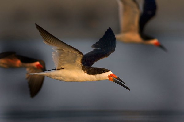 This is a photograph of Skimmers in flight taken in Grandview Nature Preserve in Hampton, Viriginia (12/05).
