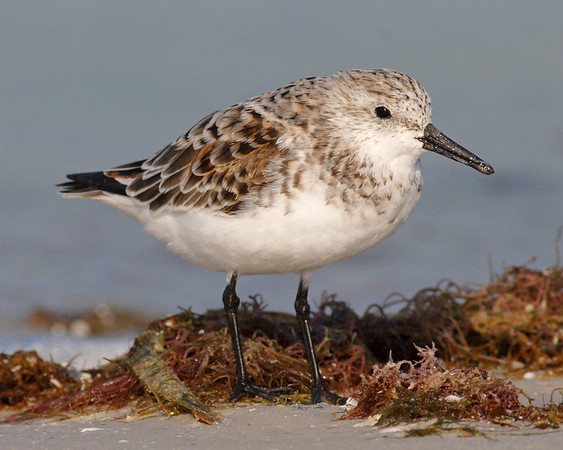 This is a photograph of a Sanderling (Fort DeSota 4/06).