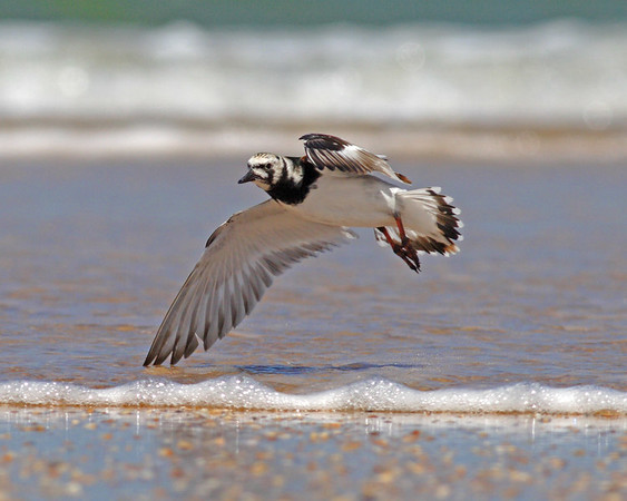 This is a photograph of a Ruddy Turnstone in flight (Fort DeSota 4/06).