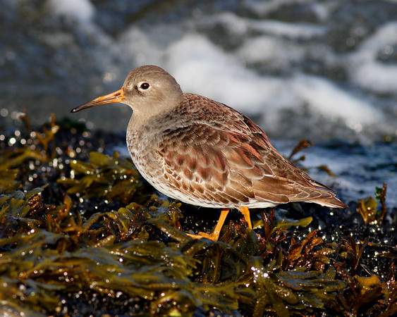 This photograph of a Purple Sandpiper was captured in the Barnegat Bay, NJ area (1/07).