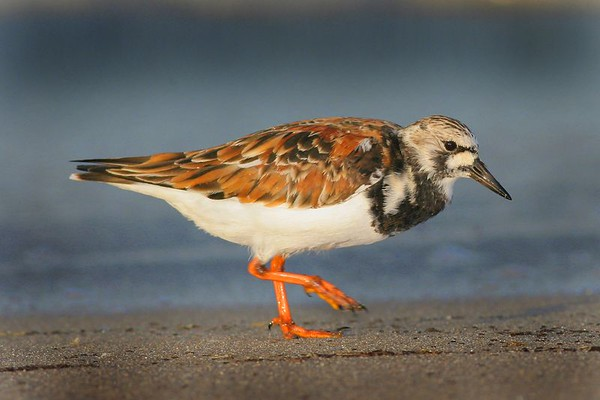 This is a photograph of a Ruddy Turnstone taken on a beach in Cape May, New Jersey (5/05).