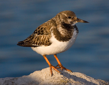 This photograph of a Ruddy Turnstone was captured in the Barnegat Bay, NJ area (1/08).