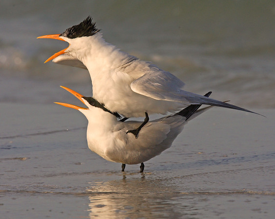 This is a photograph of a pair of Royal Terns.  The male made several attempts to attract the female.  She finally received his advances.  In this photo you see a mounting position just prior to copulating (Fort DeSota 4/06).