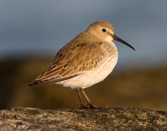 This photograph of a Dunlin was captured in the Barnegat Bay, NJ area (1/08).